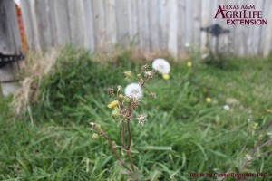 Annual Sow-thistle