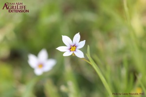Annual Blue-eyed Grass