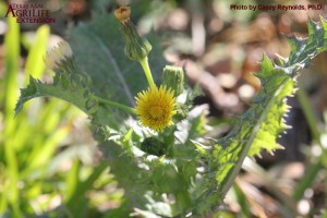 Spiny Sowthistle