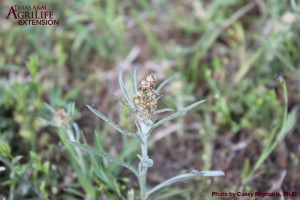 Cudweed sp.