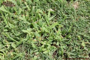 Smooth Crabgrass