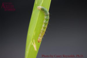 Figure 1. Larval stage of Tropical Sod Webworm