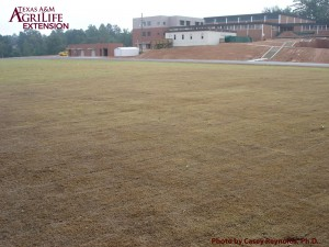 Figure 2. Fall armyworm damage to a football field