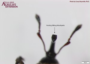 Figure 4. Chewing mouthparts on adult hunting billbug beak