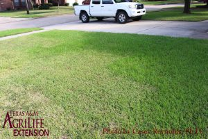 Figure 5. Lawn Damage from Tropical Sod Webworms
