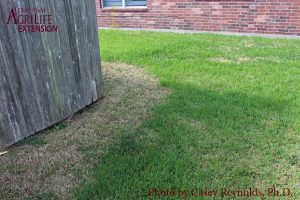 Figure 6. Lawn Damage from Tropical Sod Webworms