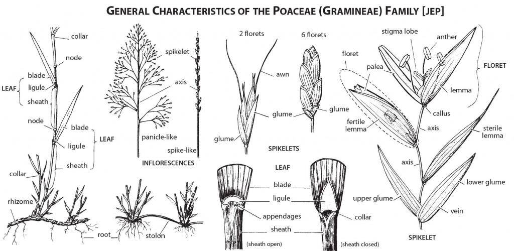 Figure 2. General Characteristics of the Poaceae Family